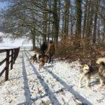 Malamute, Malinois et Berger allemand s'amusant en promenade