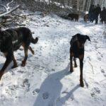 Dobermann et Beauceron marchant dans les traces de leur maître