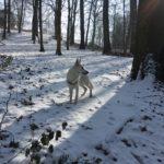 Belle photographie d'un Berger blanc suisse dans la neige