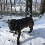 Croisé Amstaff dans la neige