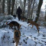 Malinois, Berger allemand, Bulldog anglais et Malamute se baladant dans la forêt enneigée