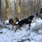 Beauceron et malinois marchant dans la neige