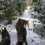 Berger allemand, Beagle, Malinois et Mâtin espagnol menant la marche