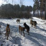 Berger belge malinois, Berger allemand, Alaskan malamute, BBS et Mâtin espagnol marchant sur la neige