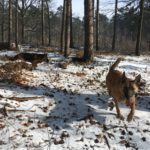 Berger allemand et Malinois gambadant dans la neige