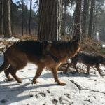 Berger allemand et Beagle faisant un tour en forêt