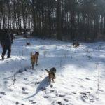 Berger Belge Malinois et Beagle flânant sur un sol enneigé