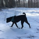 Shar pei explorant les terrains enneigés