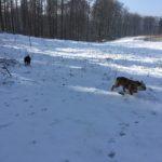 Bulldog Anglais profitant de la neige et des vastes étendues