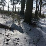 Berger Blanc slalomant entre les arbres