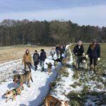 Bulldog anglais, Mâtin espagnol, Beauceron, Chien-loup tchèque et Malamute d'Alaska en balade dans les champs