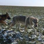 Chien-loup tchécoslovaque et Berger allemand trottinant dans la neige