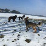 Berger portugais observant les grandes étendues avec d'autres chiens