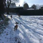 Bulldog anglais, Alaskan malamute et Berger malinois gambadant dans la neige