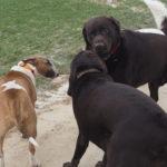 Balade pour chiens encadrée par Julie Willems, comportementaliste pour chien