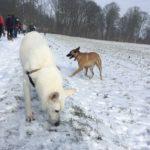 Berger Suisse et Malinois dans la neige