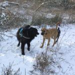 Interaction entre Hovawart et d'autres chiens