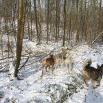 Chien-loup tchécoslovaque jouant dans la neige