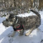 Petit Griffon se promenant sur la neige