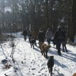 Berger portugais et Shar pei marchant dans la forêt enneigée