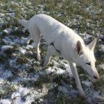 Berger Blanc Suisse se promenant dans la neige
