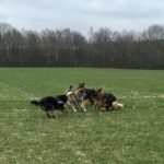 Interaction entre Akita, Berger allemand et Beauceron