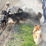 Corgi et Akita regardant les autres chiens jouer