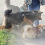 Berger allemand et Welsh corgi courant avec les autres chiens