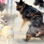 Bulldog ; Corgi ; Berger Allemand ; Berger Australien