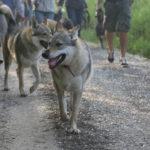 Welsh Corgi suivant deux Chiens loups tchécoslovaques