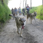 Beaux Chiens loups tchèques