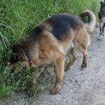 Berger allemand la truffe dans l'herbe