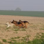 Deux Bergers allemands et un Chien-loup qui sprintent