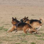 Course entre deux Bergers allemands et un Chien-loup