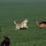 Course-poursuite entre Bergers allemands et Chien Loup