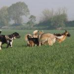 Rassemblement de chiens