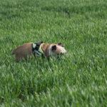 Bulldog anglais caché dans les cultures