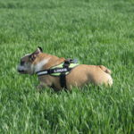 Bulldog en pleine course