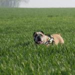 Bulldog Anglais au milieu d'un champ