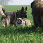 Deux Bergers avec un Bulldog