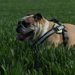 Bulldog anglais haletant