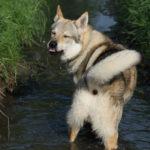 Chien-loup tchécoslovaque dans l'eau