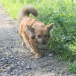 Joli petit chien croisé Corgi
