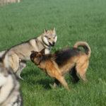 Un chien-loup tchécoslovaque jauge un Berger allemand