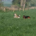 Un Chien-loup et deux Bergers allemands qui gambadent
