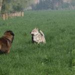 Un Berger portugais et un Chien-loup tchèque qui jouent