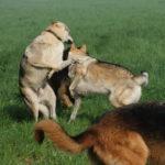 Deux chiens loups qui jouent avec des Bergers