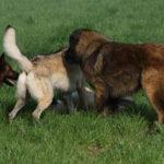 Deux Chiens Loups ; un Berger allemand ; un Berger portugais