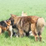 Un Berger portugais se divertit avec d'autres chiens