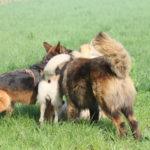 Un Berger allemand se divertit avec d'autres chiens